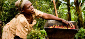 coffee_harvest_africa